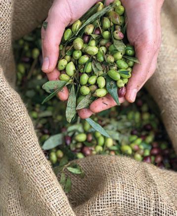 L'huile d'olive, l'or vert des chefs DR